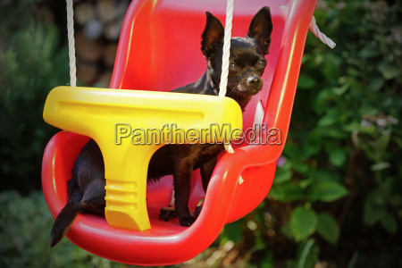 chihuahua dog at the children swing