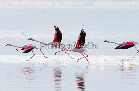 flying flamingo flying flamingo