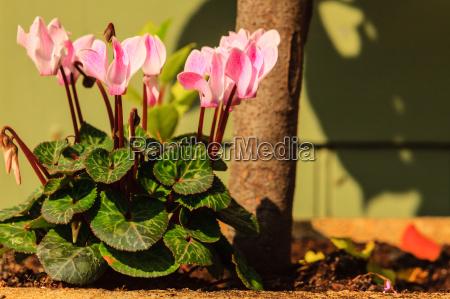 pink flowers in the garden spring