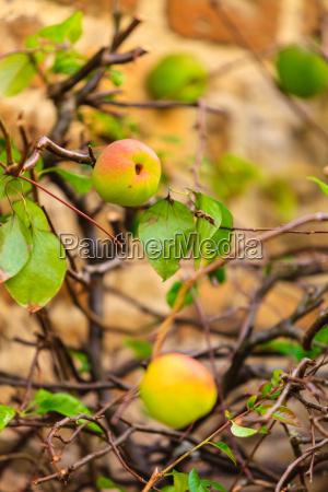 quince tree growing in the garden