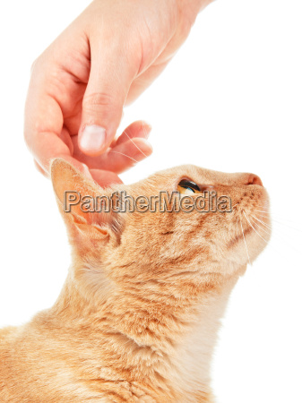 domestic cat with human hand domestic