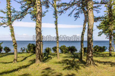conifers on the baltic coast in