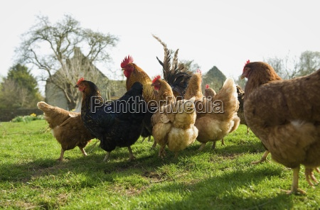 a small flock of hens in