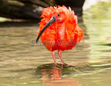 scarlet ibis wading through the water