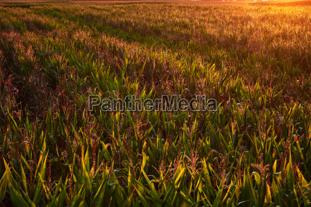 cornfield with awesome light