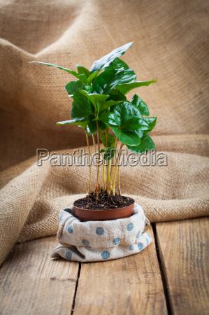 coffee plant tree on wood background