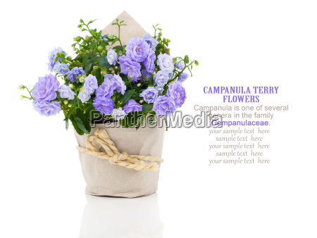 bellflowers campanula flowers in paper packaging