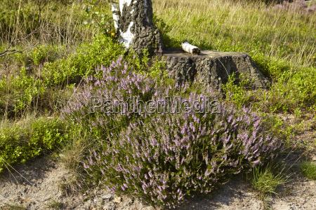 luneburg heath birch tree and