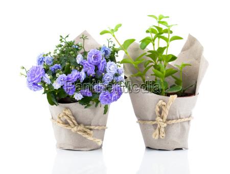 bellflowers campanula flowers in paper package