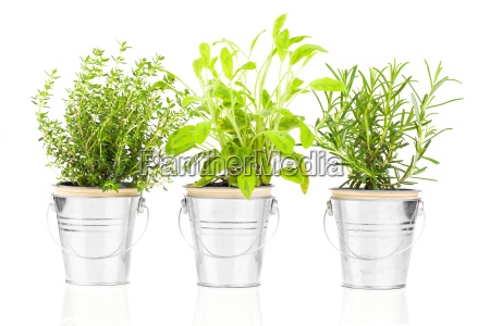 sage thyme and rosemary herb plants