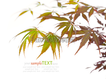 maple tree on a white background
