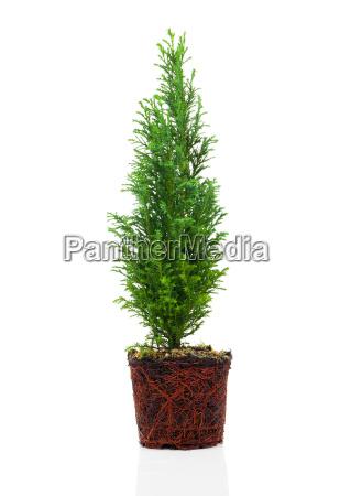 tree of life or thujen thuja