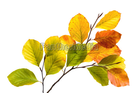 colorful beech leaves on branch cut