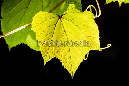 a vine leaf in sunlight
