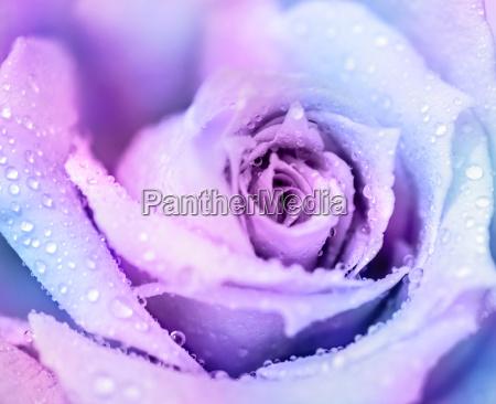 winter rose background