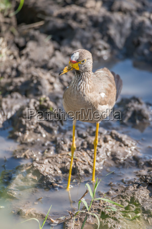 african wattled lapwing on muddy river