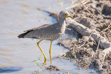 african wattled lapwing passes branch in
