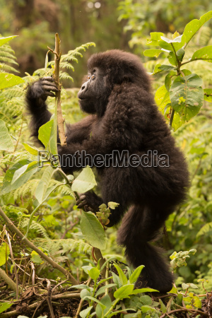 baby gorilla climbs branch while looking