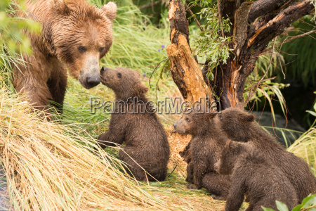 four bear cubs greet mother beside