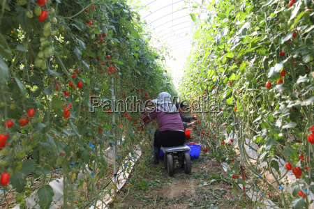 workers harvest tomatoes in the organic
