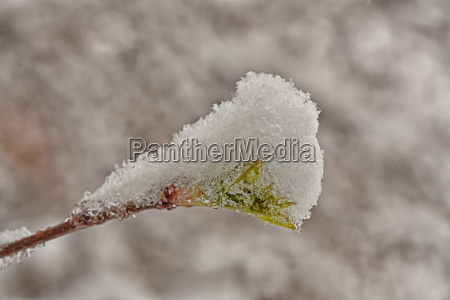bud covered in snow