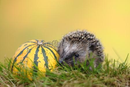 little hedgehog on a voyage of