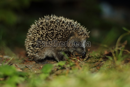 little hedgehog on a discovery tour