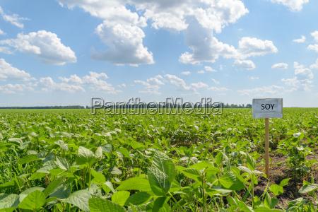 soybean field landscape