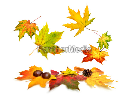 autumn maple leaves falling down beautifully