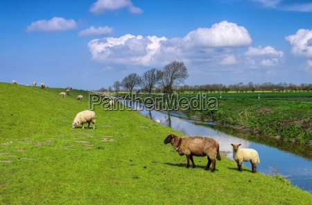ostfriesland sheep eastern friesland sheeps