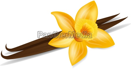 vanilla pods with vanilla flower with