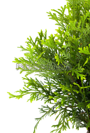 japanese cedar cryptomeria japonica or japanese