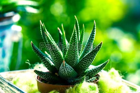 haworthia mix cactus