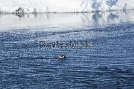 seal swims at glacier lagoon jokulsarlon