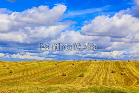 yellow round straw bales on stubble