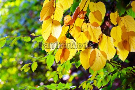 rusty autumn leaves