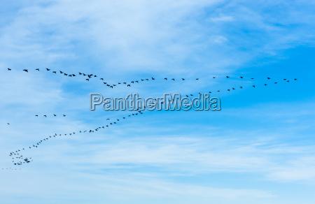 large flock of cormorants flying in