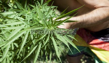 checking the marijuana plantation