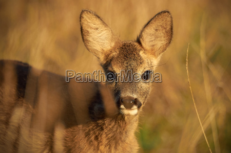 young deer at the glade