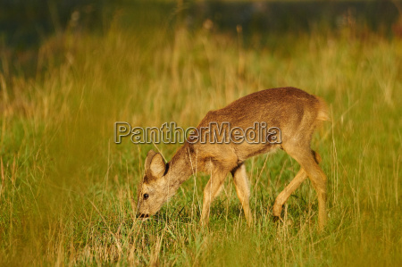 young deer at the meadow