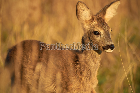 young fawn at the morninglight