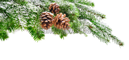 fir branch with snow and cones