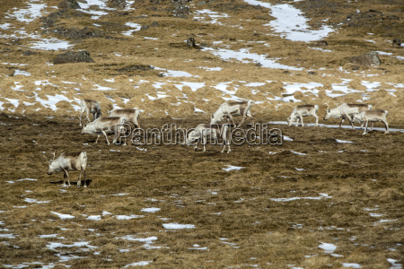 herd of reindeer in iceland