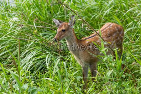 sika deer in grassland