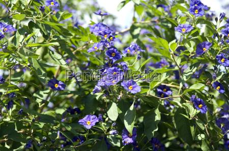 potato shrub solanum ratonettii gentian shrub