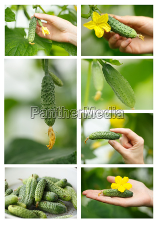 cucumbers picking