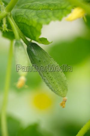 tiny cucumber