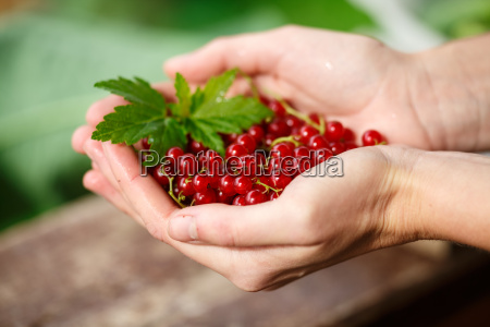 redcurrant picking