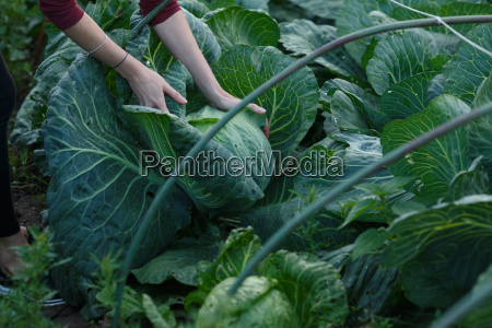 cabbage, harvest - 14936611