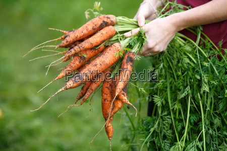 carrots, harvest - 14936617